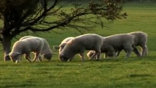 Sheep grazing under a tree